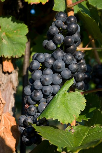 Die Regionen im Burgenland bieten köstliche Weintrauben
