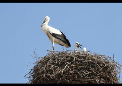 Burgenland - Storch am Neusiedler See