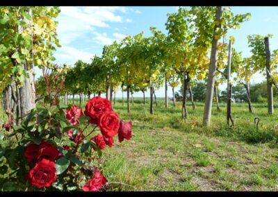 Niederösterreich - Weingarten in der Wachau