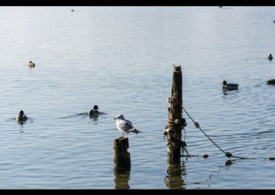 Oberösterreich - Enten am Traunsee bei Gnunden