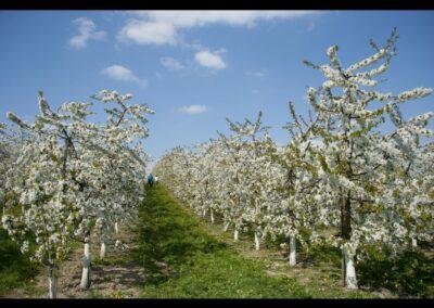 Oberösterreich - Scharten - zur Kirschblüte