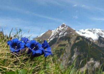 Tirol - Enzian Blumen der Alpen
